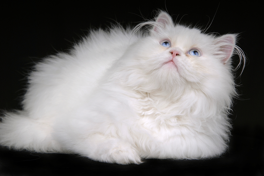 Best Cat Food For Persian Cats