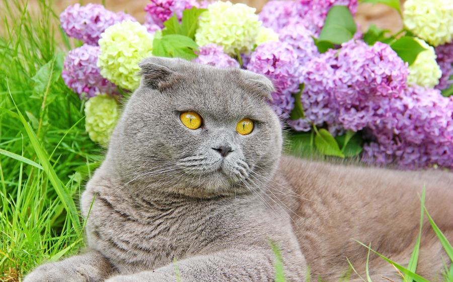 The Best Cat Food For Your Scottish Fold