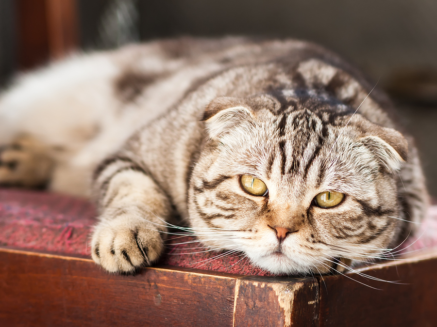 Diabetes in Your Cat – Warning Signs and Prevention